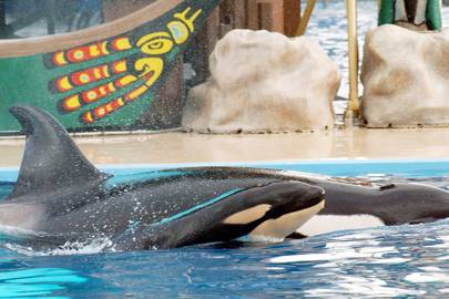 A baby killer whale swims with it's mother Kasatka on 21 December 2004 at SeaWorld in San Diego, California