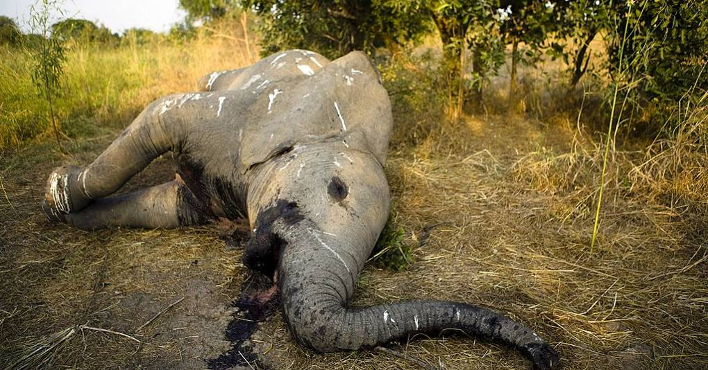 The war against animal poaching will be won by data, not ... Elephant Tusk Cut
