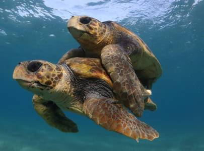Here's some good news: sea turtle numbers are on the rise