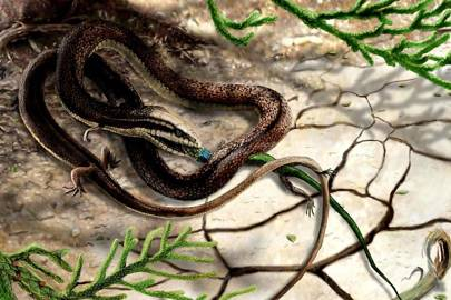 Tetrapodophis amplectus with its salamander prey