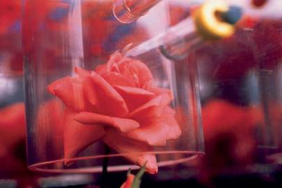 "OK, maybe this isn't exactly a Miracle, but it's pretty cool nonetheless. Back in the 1990s, NASA teamed up with a company called International Flavors and Fragrances to grow a rose in space. The scent of that rose was synthesized and then bottled in a ""out-of-this-world"" perfume called Zen. Answer: Miracle"