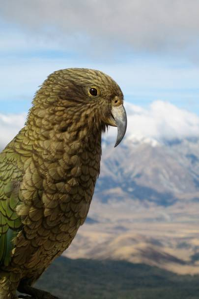 "The Kea (aka ""the killer parrot"")"