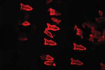 "3D-printed ""microfish"" glow a fluorescent red colour when they come into contact with toxins"