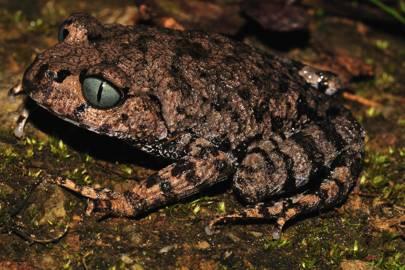 Bompu Litter Frog