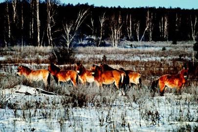 Chernobyl Horses