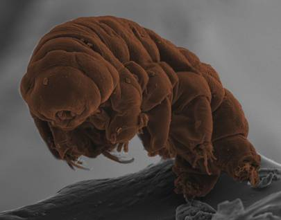 Nigeria news today | How tardigrades come back from the dead ...