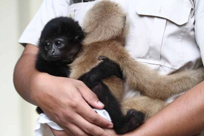 The main threat to the Gibbon and Sarudung is homelessness which is pushing the species to the brink of extinction. Oil palm cultivation has cleared the vast forest area, removing the protected animal habitats in East Asia that the animals enjoyed.