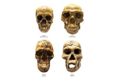 Fossil skull of Homo Erectus, Sapiens, Neanderthalis and Antecessor