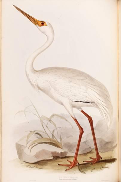 White Crane (Grus leukogeranus)