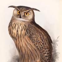 Eagle Owl (Bubo maximus)