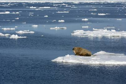 walrus on isolated arctic ice floe