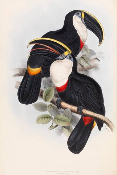 Culmenated Toucan (Raphastos culmenatus)