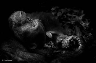 Animal Portraits: Contemplation