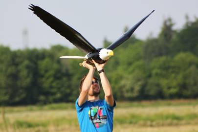 The bigger Bald Eagle robird