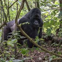 adult male silverback mountain gorilla