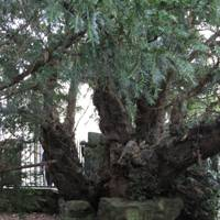 The UK's oldest treee -  the Fortingall Yew