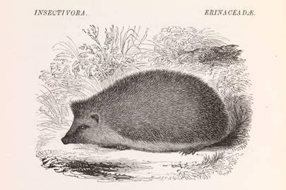 Hedgehog (Erinaceus europæus)
