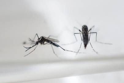 Aedes Aegypti mosquitos, which carry the Zika virus, as photographed in a laboratory in San Salvador