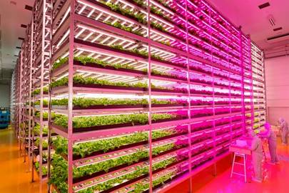 LED-lit indoor farm produces 10,000 lettuces a day