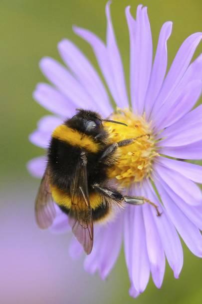 Bombus terrestris (Buff-tailed bumblebee) on flower