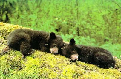 In terms of blood chemistry, hibernating bears look like diabetic humans, but on revival from hibernation the chemistry returns to normal