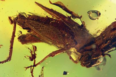 Electrotettix, a new genus and species of pygmy grasshopper discovered in amber