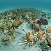 Behaviour, invertebrates: Crab surprise