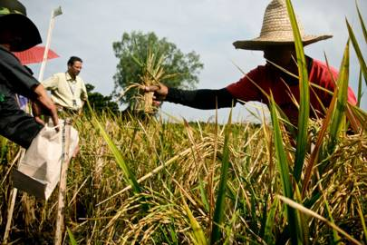 Filipino farmers destroy GM crops designed to alleviate malnutrition
