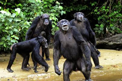 Chimps recognise butts in the same way humans recognise faces - Technology Updats