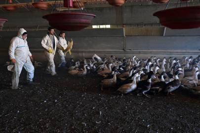 As H5N8 spreads throughout birds in France, a duck farmer is forced to cull his herd