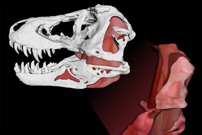 The jaw muscles in Tyrannosaurus rex that helped it generate its whopping 8,000-pound bite
