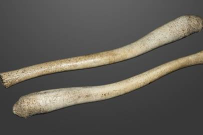 The penis bone of a Walrus