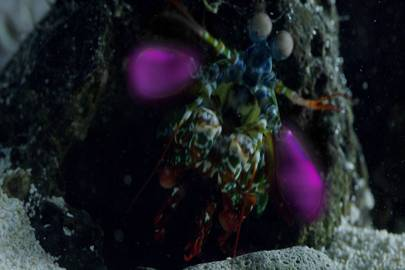 A Mantis shrimp using light to display secret love signals to a female and defend his burrow