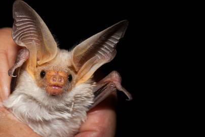 An adorable portrait of a pallid bat, Antrozous pallidus. This species can consume half its body weight each night in grasshoppers, beetles, and other arthropods