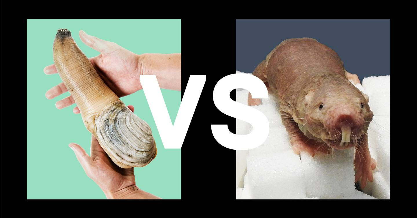 animal battle 3  spurting geoduck vs  immortal naked mole