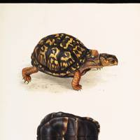 North American Box Turtle (Terrapene clausa)