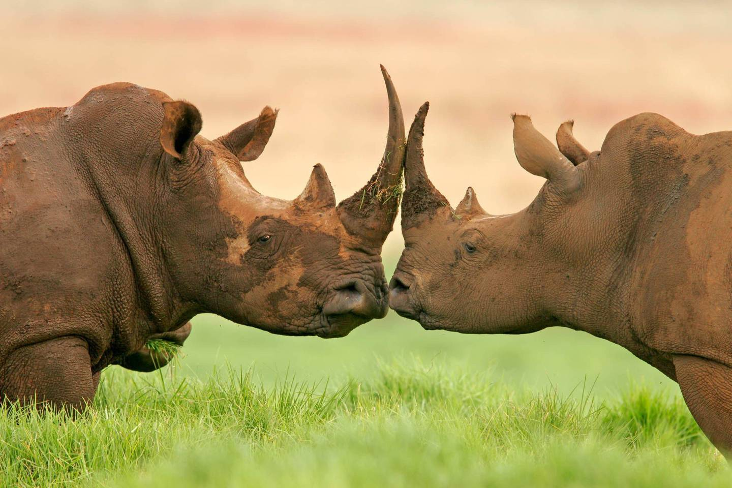 3D-printed rhino horns will be 'ready in two years' – but could they make poaching worse?