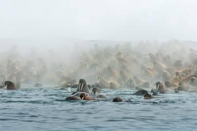 Walrus love