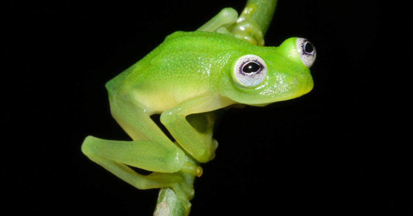 glass frog u0027s organs are visible through its belly wired uk