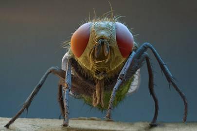 Bluebottle Fly