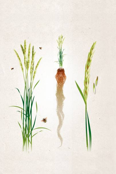 """Kernza, or """"intermediate wheatgrass"""", copes well with climate change."""