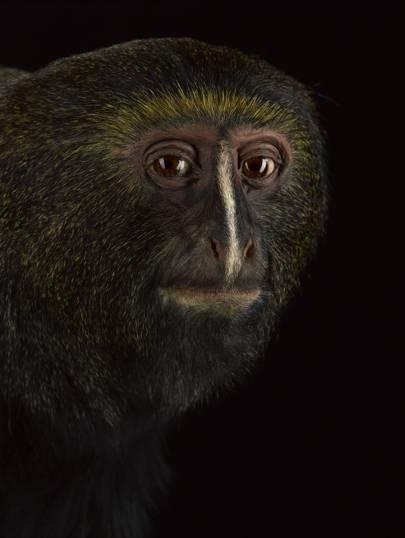 Hamlyn's monkey