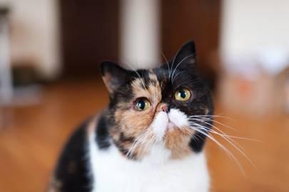 Pudge the Cat