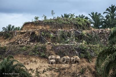 Wildlife photojournalist, single image: Palm-oil survivors