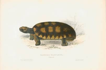 Yellow-footed tortoise (Chelonoidis denticulata, formerly Testudo tabulata)