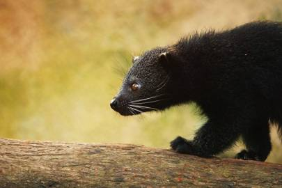Binturongs are also known as bearcats