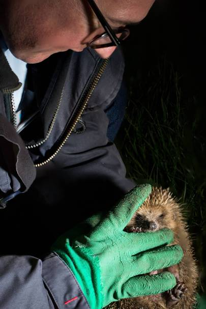 Hedgehog hunting in London's Regent's Park
